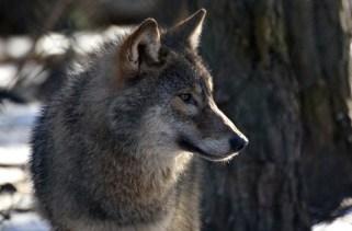 30 fatos interessantes sobre lobos