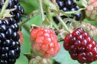 As proporções de nutrientes mudam de fruta à medida que amadurece?