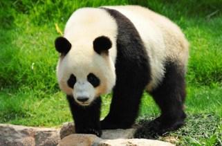 26 fatos interessantes sobre os pandas gigantes