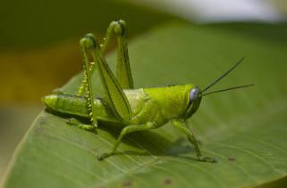 A maioria dos insetos rasteja e muitos insetos voam, mas apenas alguns dominam a arte de pular.Alguns insetos e aranhas podem arremessar seus corpos