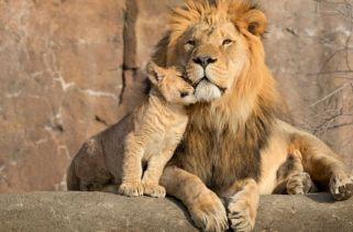 Que tipos diferentes de Leões existem?