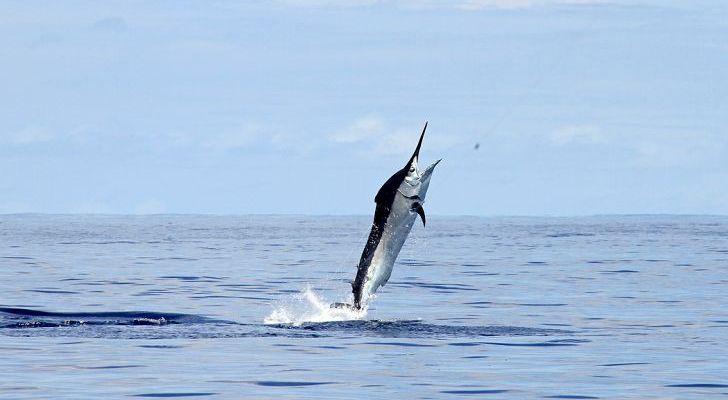 O Peixe Mais Rápido Do Mundo