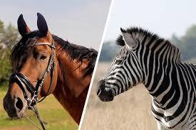 Nós domesticamos cavalos, então por que não zebras?