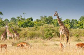 Onde Vivem As Girafas?