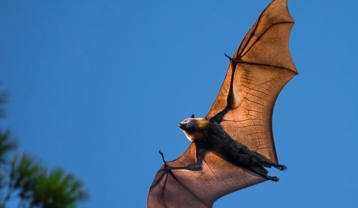 Os Maiores Morcegos Do Mundo