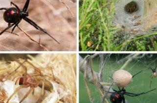 Quais são as aranhas mais mortais do mundo?