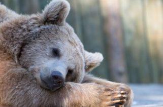 Por que os ursos hibernam?
