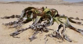 As 9 plantas de deserto mais misteriosas