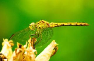 Podemos usar libélulas para controlar populações de mosquitos?
