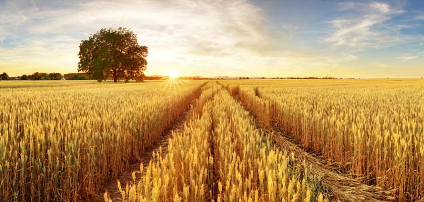 Mudanças climáticas e agricultura: quais culturas são mais susceptíveis de serem afetadas?