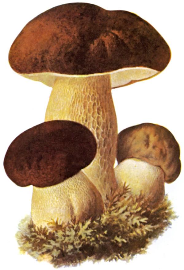 Porcini e non solo I funghi secchi tra storia e cucina