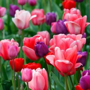 tulpenveld-roze-paars-rood