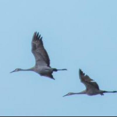Sandhill cranes and tundra swans, Ontario