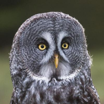 Great-grey owl