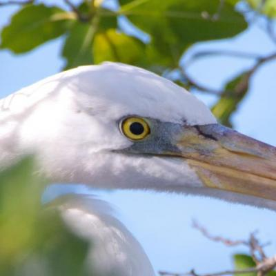 Great blue heron - white morph
