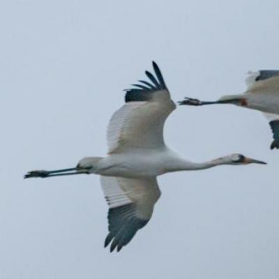Whooping cranes, Kentucky