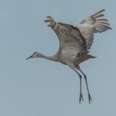 Sandhill cranes landing, Indiana