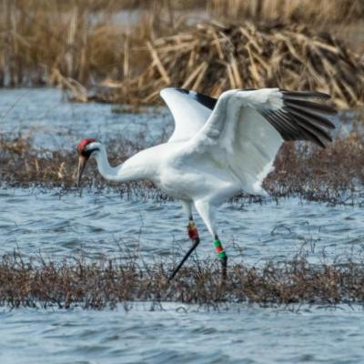 Whooping crane, Indiana