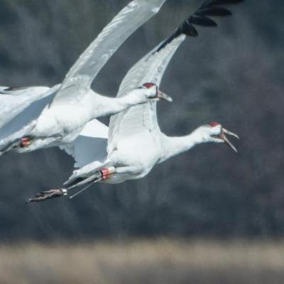 Whooping cranes, Indiana