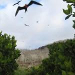 Frigate Birds, Galapagos