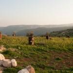 Olive Treeson the Path from Duma to Kufr Malek, Palestine