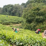 Tea Plantation, Nyungwe