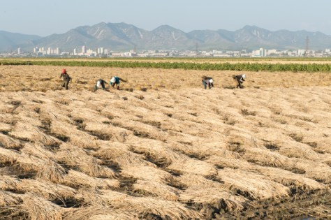 Harvesting rice at Migok Commune with Sariwon city in the background