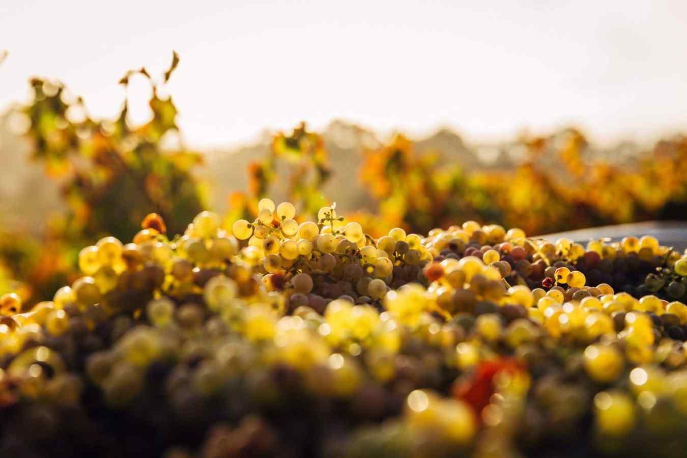 didier goubet jus de raisin bio cepage de bordeaux vignes