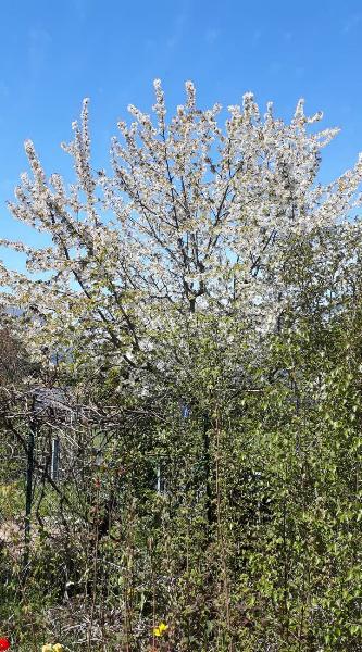 Baumblüte beim Nachbarn