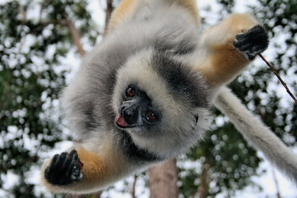 Drumcomplex is a Lemur from Madagascar
