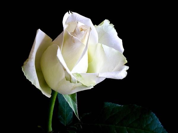 12 Arti Bunga Mawar Berdasarkan Warna dan Jumlah