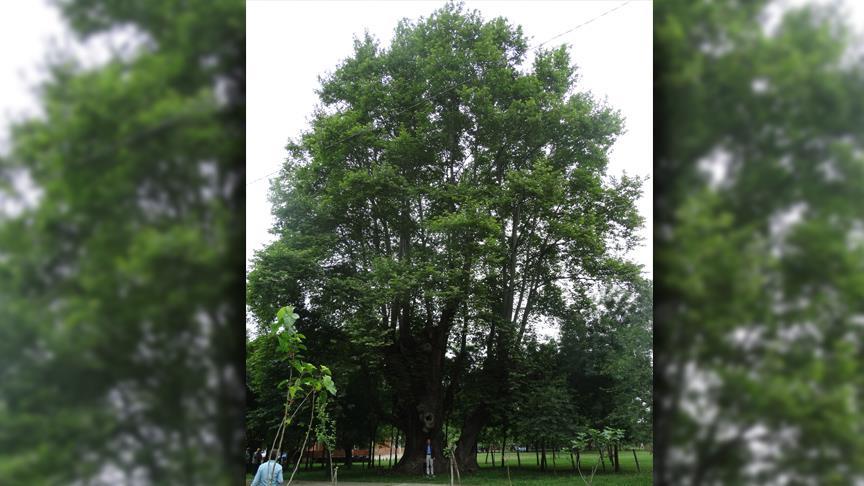 Samsun'da 900 yaşındaki çınar ağacı tescillendi