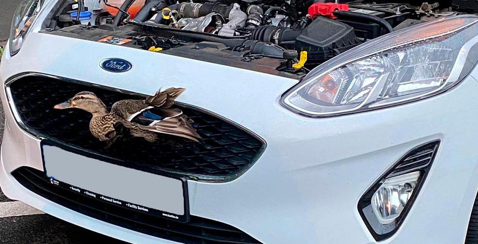 Ördek araç ızgarasına çarptı