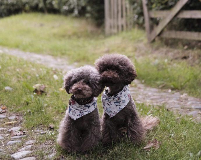poodle twins