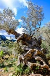 Einige der Olivenbäume sind Hunderte Jahre alt. Foto: Flora Jädicke