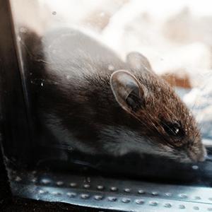 Verjagen van ratten probeer het zo