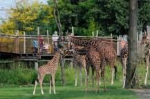 netgiraffen op de savanne