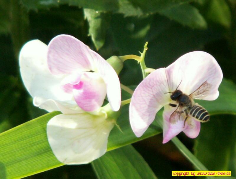 Wicken mit Biene