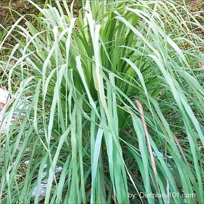 Lemongrass ready for harvesting