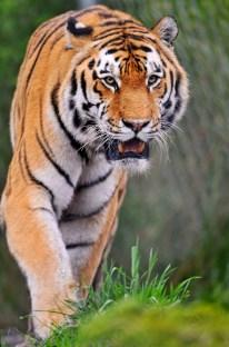 trauma tijger ontwaakt peter levine