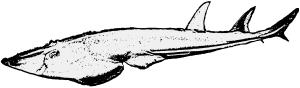 Myledaphus Männchen