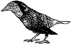 Avisaurus Weibchen
