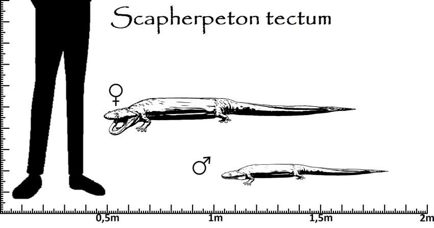 Scapherpeton Größenvergleich