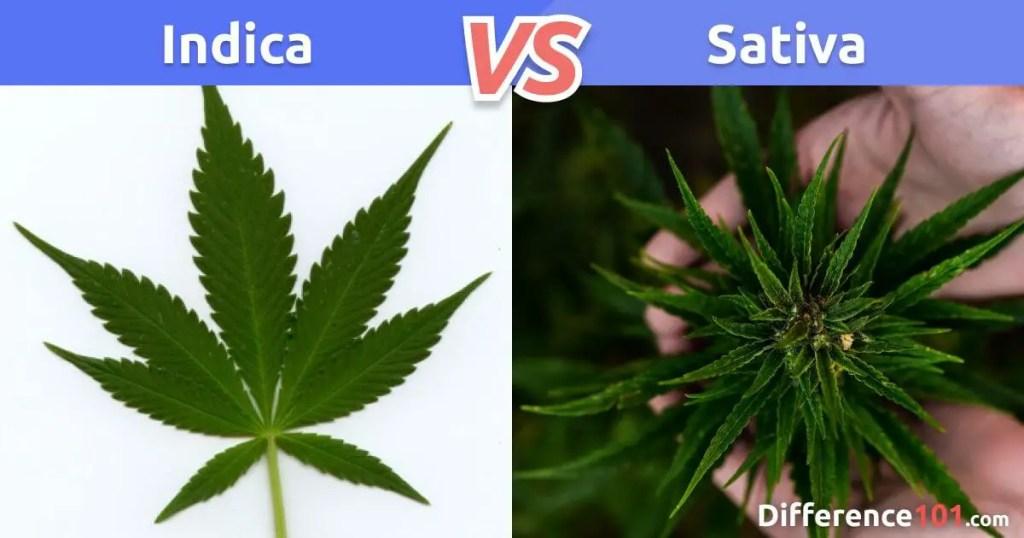 Indica e Sativa vs Híbrida: Qual A Diferença?