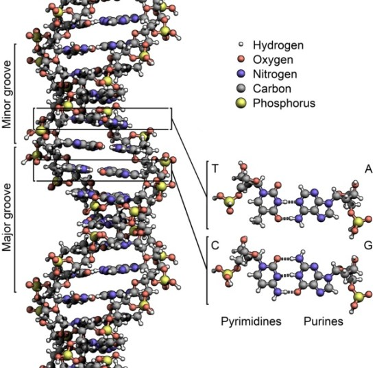 Difference Between DNA and RNA Structure