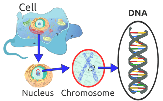 Difference Between DNA and cDNA