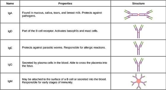 Key Difference - Antigen vs Antibody
