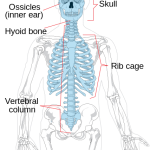 Difference Between Axial and Appendicular