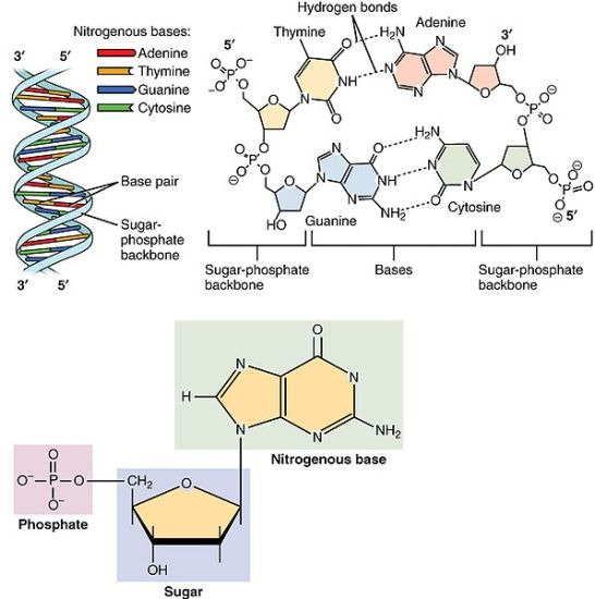 Key Difference Between Nucleotide and Base