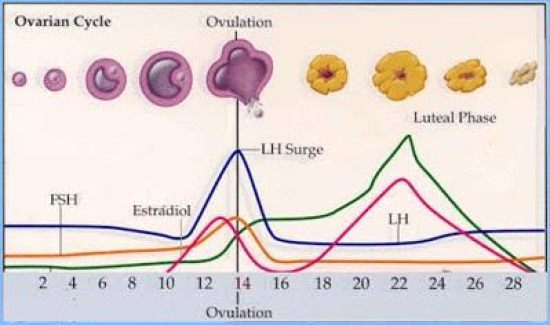 Key Difference Between Fertile and Ovulation
